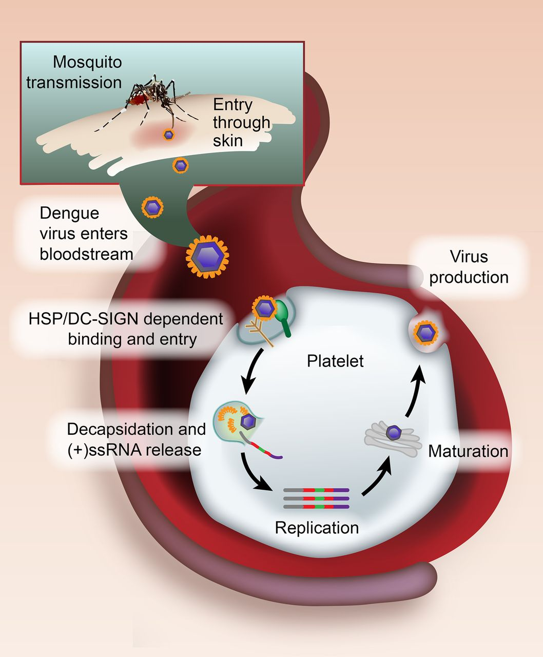 Dengue Virus Replication in Platelets